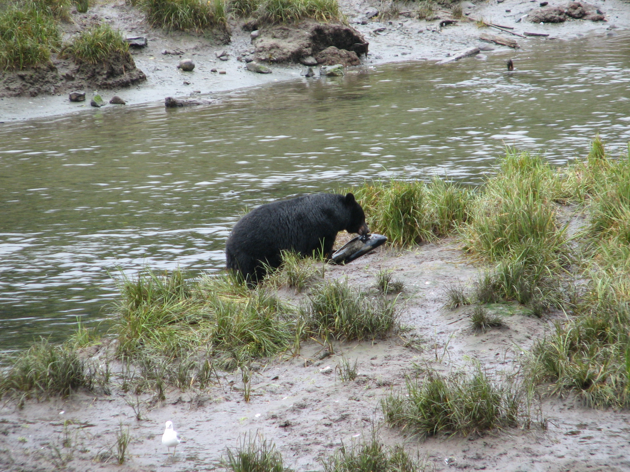 Alaska Bear Catching Salmon