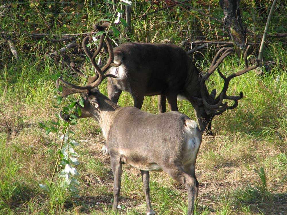 Fairbanks Deer