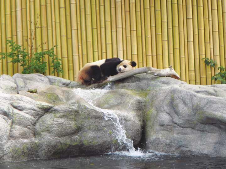Toronto Zoo, Panda